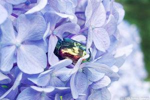 アジサイの花で昼寝をするリュウキュウツヤハナムグリ