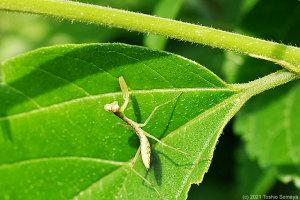 獲物待ちポーズのハラビロカマキリ幼虫