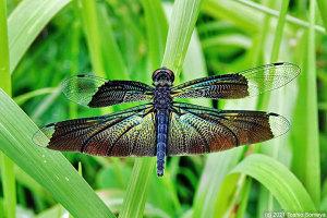 チョウトンボの輝く翅