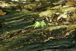 生えていたのは老木の根本