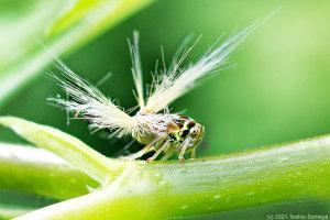 ベッコウハゴロモの幼虫