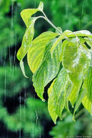 雨に濡れたハナミズキの葉