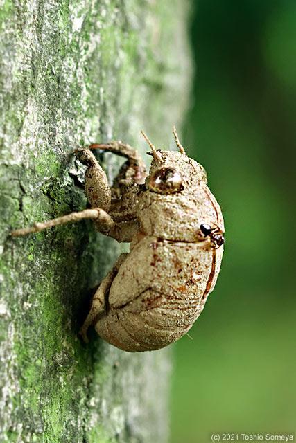 セミの抜け殻を検分中のアリ