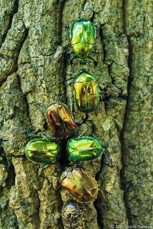 樹液を漁る甲虫たち