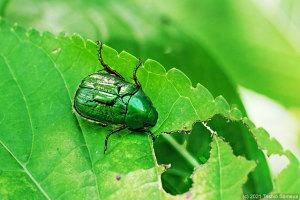 アジサイの葉を猛食する甲虫