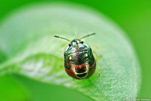 マルシラホシカメムシ幼虫