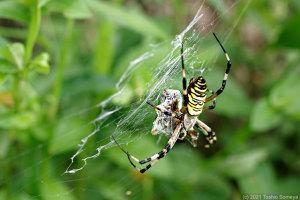 獲物を捕らえたナガコガネグモ