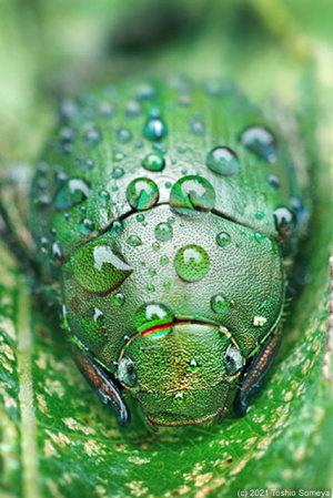 雨滴をびっしり背負ったアオドウガネ