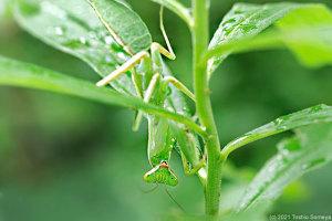 戦意喪失のハラビロカマキリ幼虫