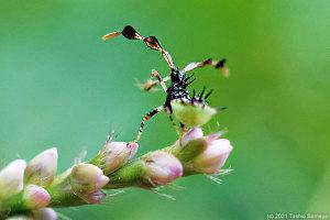 ホソハリカメムシの幼虫の触覚が凄い!