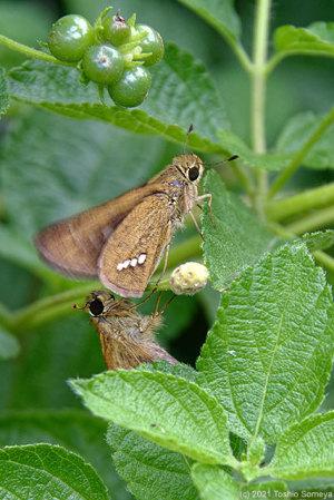 イチモンジセセリ(蝶)の求愛行動
