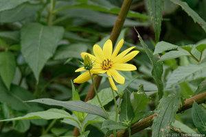 イヌキクイモの花、一輪だけ・・