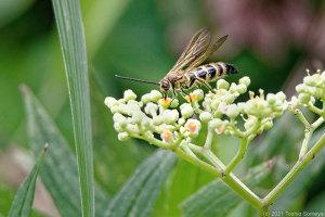 キンケハラナガツチバチの吸蜜風景
