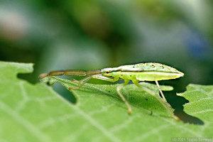 ハラビロヘリカメムシ幼虫のサイドビュー