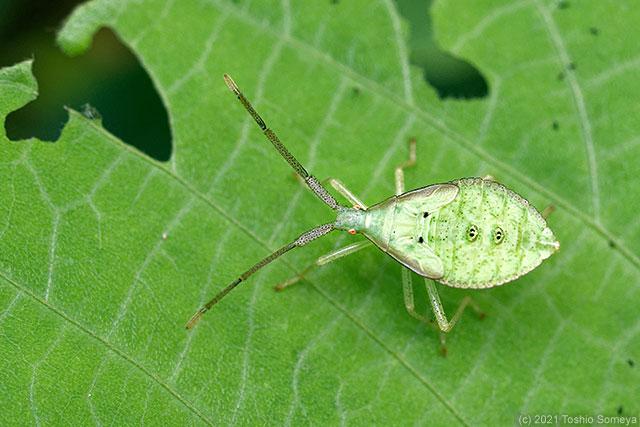 ハラビロヘリカメムシの幼虫