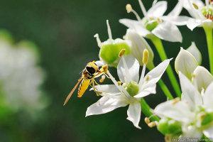 ニラの花で吸蜜する小さなアブ