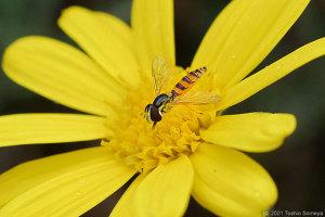 ユリオプスデージーの花で吸蜜するアブ