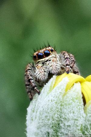 ハエトリグモの顔、むりやりアップ!