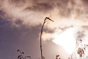 茜色の空も似合うアキアカネ