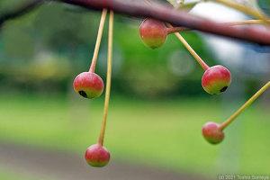 ちょっぴりリンゴ似の実